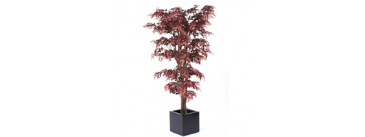 Red Aralia Tree