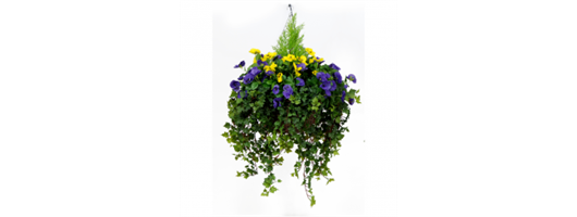 Purple & Yellow Pansy Hanging Basket