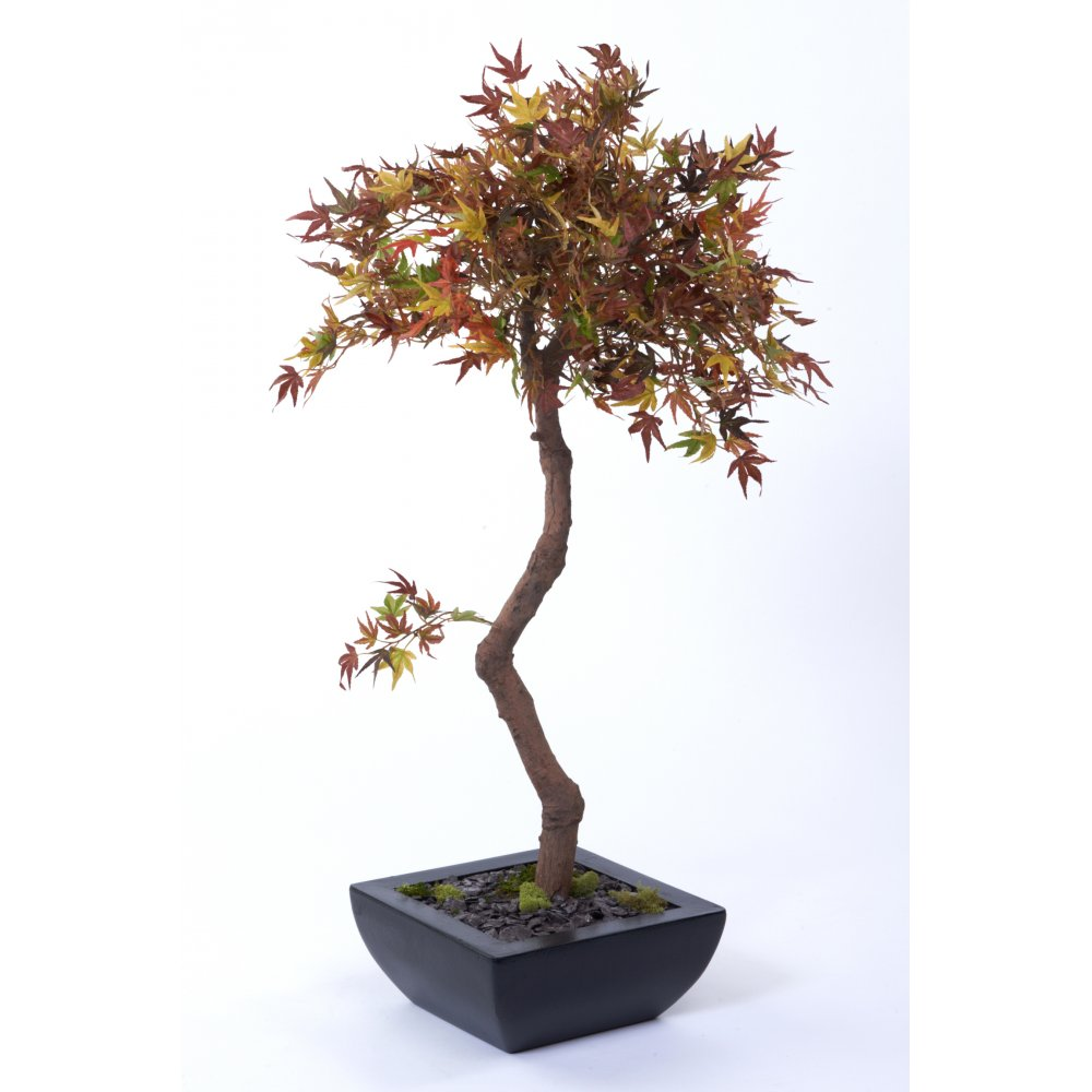Autumn Acer set in black trapezoid planter