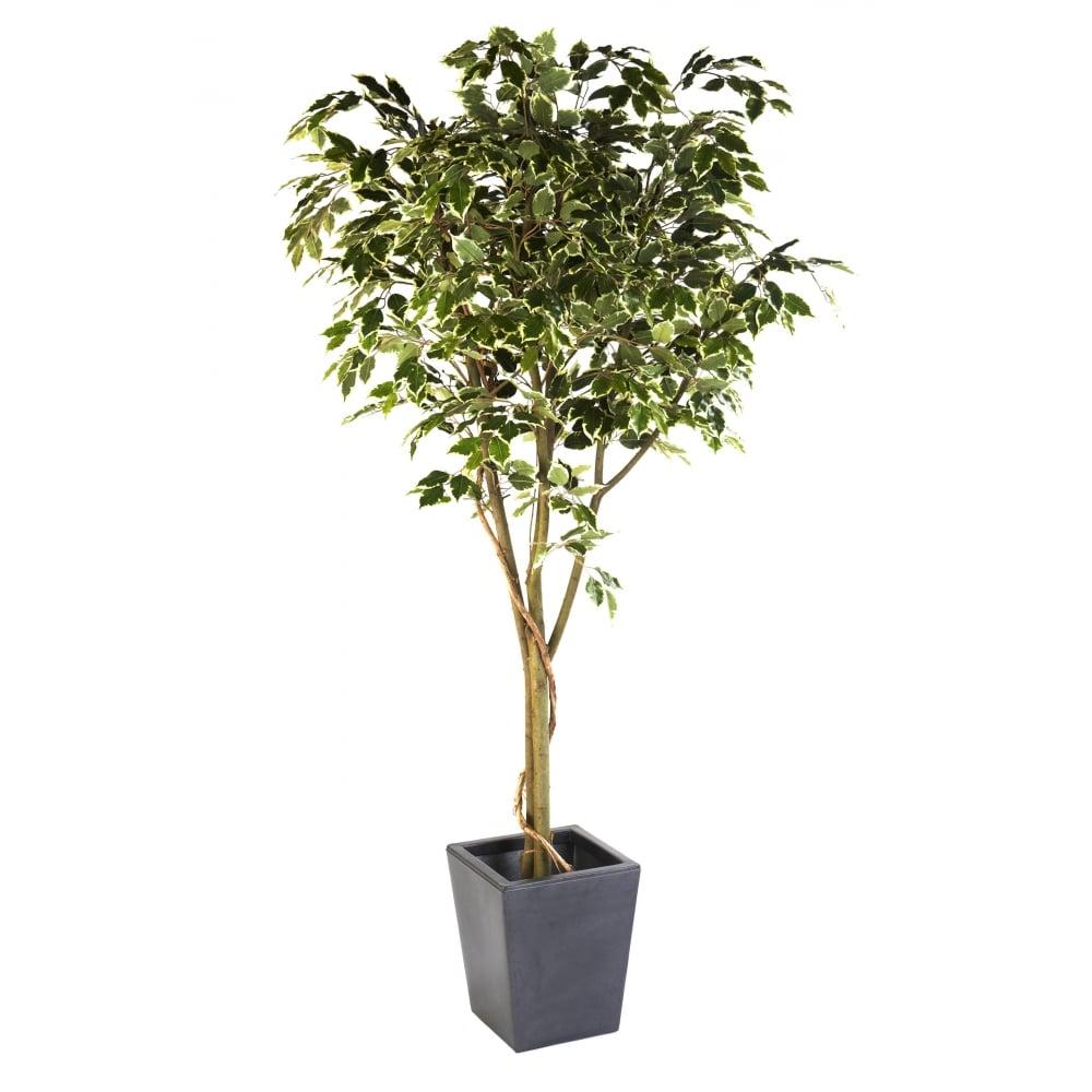 Red hot plants heysham lancashire la3 2fl - Ficus benjamina precio ...