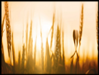 Kitchen Splashbacks - Barley Sunset